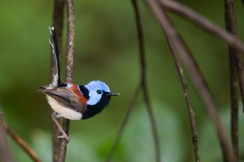 Male Lovely fairywren