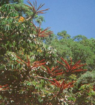 Umbrella Tree