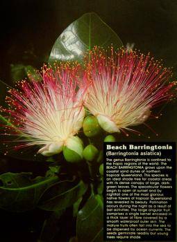 Beach Barringtonia