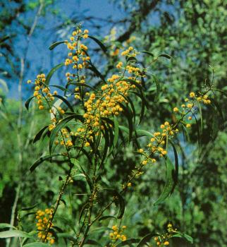 Heath Wattle