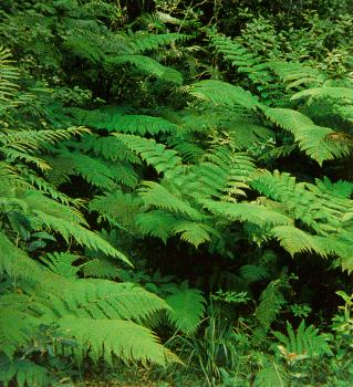 Common Tree Fern